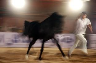 جشنواره اسب اصیل عرب در میبد برگزار می شود