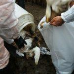 ۳۰ هزار مرغ و ۳۶ هزار بلدرچین در یزد معدومسازی شد