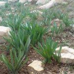 برداشت محصول گیاهانمرتعی در استانیزد ممنوع شد