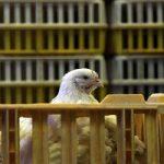 شایعه هورمونی بودن مرغها اساس علمی ندارد