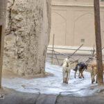 گلهی سگ های ولگرد در محلههای میبد! / رویکرد مسئولین بعد از کشته شدن دو کودک طی سالهای اخیر چیست؟