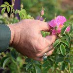 برداشت محصول اولین باغستان گل محمدی میبد آغاز شد/ تصاویر