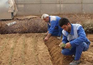 دو گیاه به صورت آزمایشی در میبد کشت شد