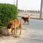 جولان سگ های ولگرد در میبد ادامه دارد/ پیدا و پنهان معضلی که هر روز بزرگتر می شود/ تصویر کودک مجروح از حمله سگ ها